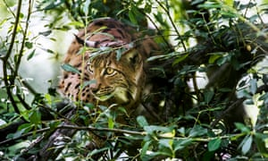 A Eurasian lynx stalking prey in brushwood