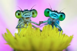 Damselflies appear to be holding hands as they rest on a flower near the river Po in the early morning.