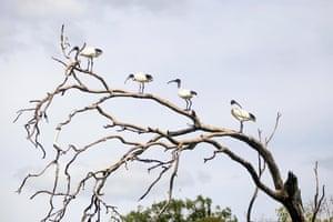 Ibis birds on a tree in Australia