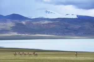 Wild Tibetan asses stroll in the Qiangtang state-level nature reserve in Gacuo Township of Shuanghu County, Tibet.