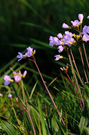 Lilac violet cuckoo flower in a green meadow.