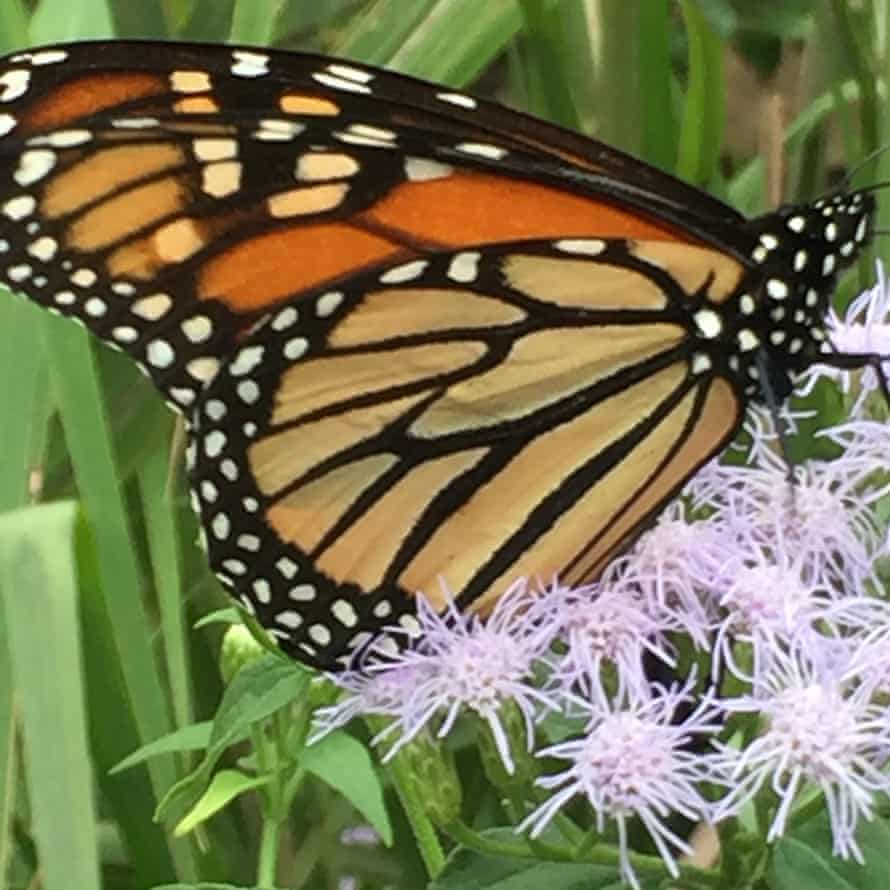 A monarch butterfly in Silvia Gederberg's garden in Houston, Texas.