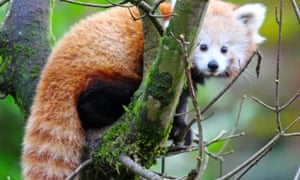 A red panda at Belfast zoo
