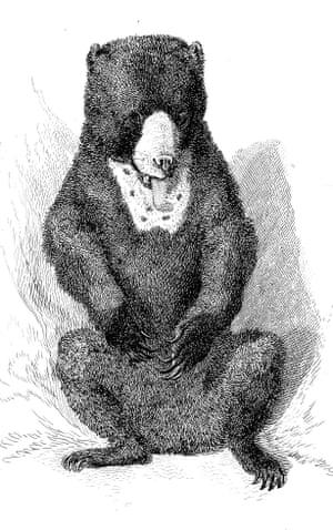 A Malayan sun bear