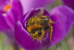 A queen bumblebee (Bombus terrestris) is covered in pollen as it emerges from a crocus flower.