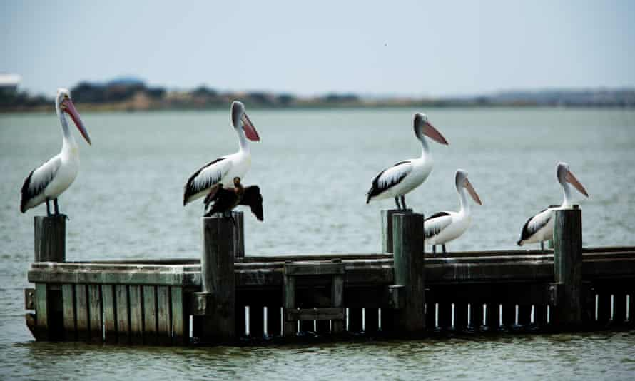 Birdlife on the Coorong near the mouth of the Murray River where it flows into the Great Australian Bight