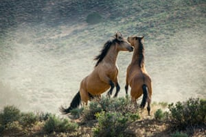 Wild horses, or mustang, in the south-west US
