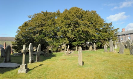 The yew in the churchyard at Defynnog, thought to be more than 5,000 years old.