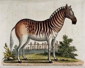 A female zebra standing in an enclosure