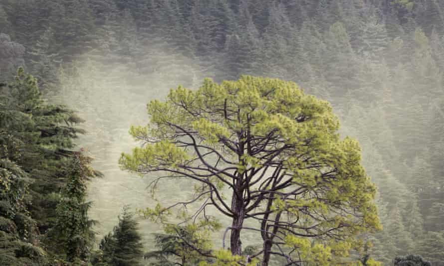 A pine stands out against clouds of deodar cedar pollen floating away from the trees' male cones along a hillside in Dharmsala, India.