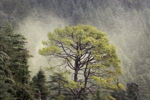 A cloud of cedar pollen floating behind a pine tree in Dharmsala, India