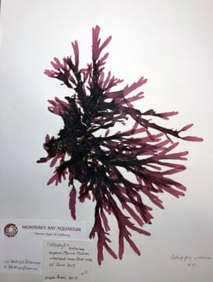 Seaweed pressings at the Monterey Bay Aquarium.