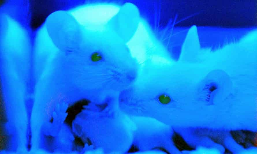 Mice with the green fluorescent protein