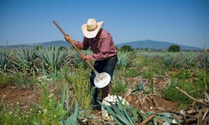 The <em>coa</em> – the tool used to harvest the agave – is largely unchanged in 400 years.