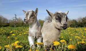Young pygmy goats. While goats are famous for easting anything and everything, sadly this doesn't mean they are immune to poisoning.