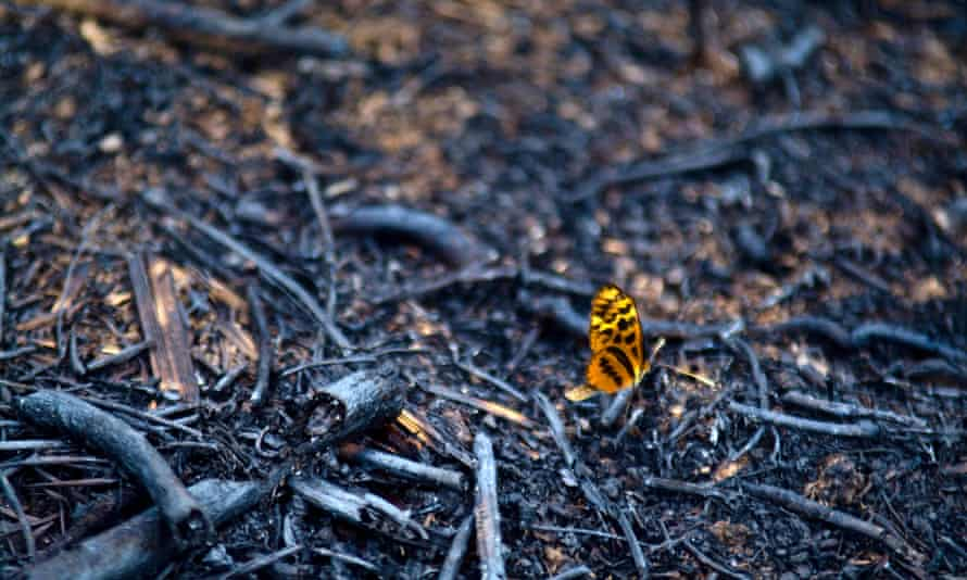 A passion flower butterfly on rainforest cleared and burned for farmland in Peru's Amazon basin