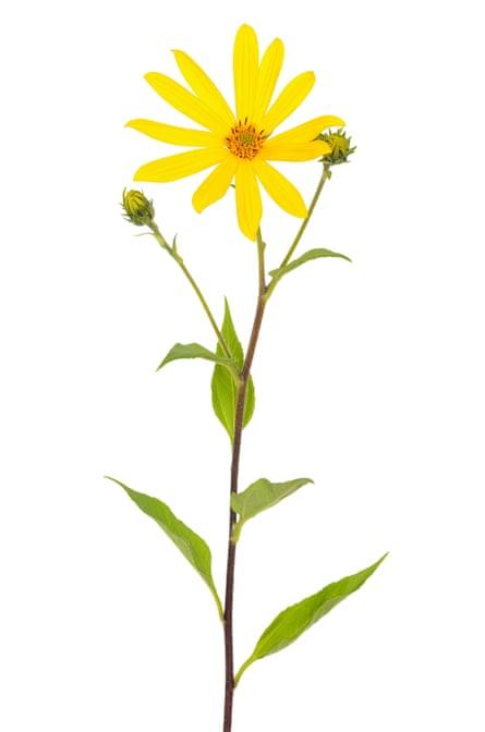 Related to sunflowers: Jerusalem artichoke (Helianthus tuberosus) flower.