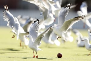 Melbourne, Australia: Gulls dodge a cricket ball during day three of the Round 9 JLT Sheffield Shield cricket match between Victoria and New South Wales at Junction Oval in St Kilda