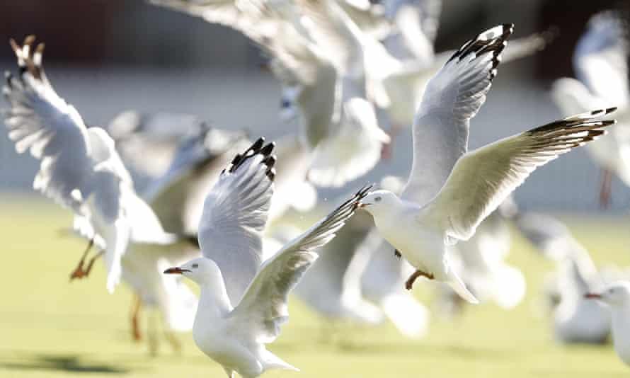 Seagulls in Melbourne