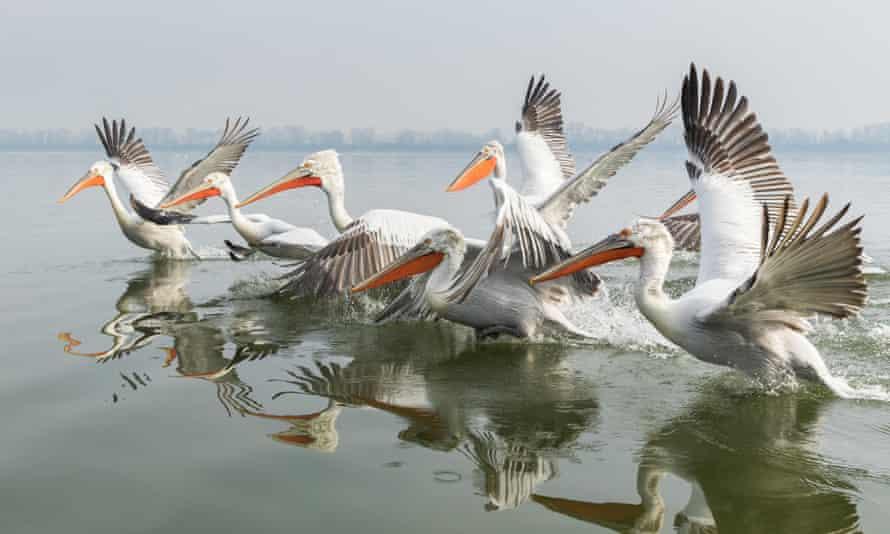 Dalmatian pelicans in northern Greece