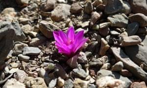 Ariocarpus kotschoubeyanus cactus