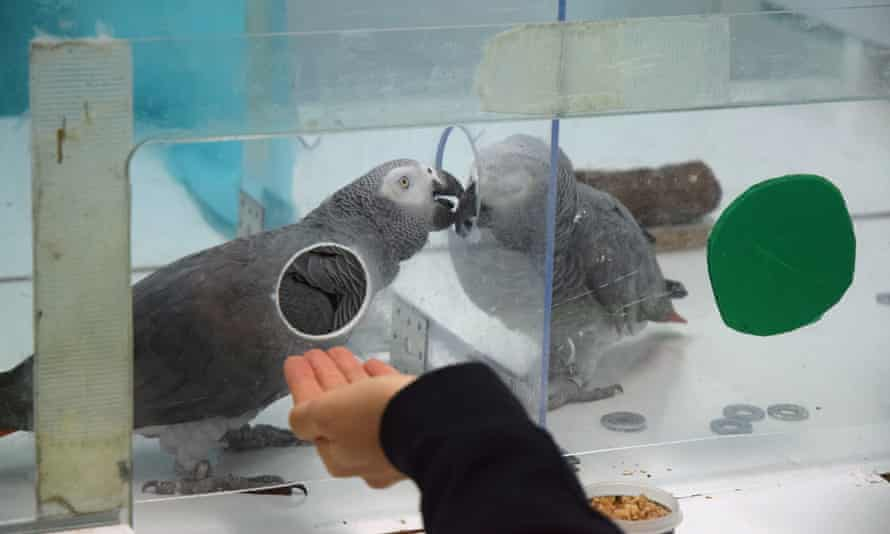 A pair of African grey parrots exchanging tokens as part of the study.