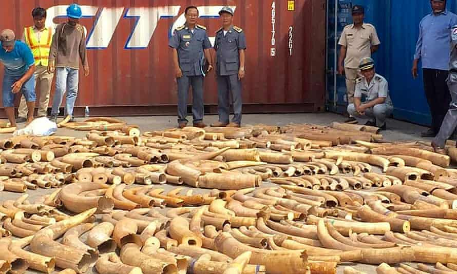 Cambodian customs officials looking at ivory seized from a shipping container at the Phnom Penh port.