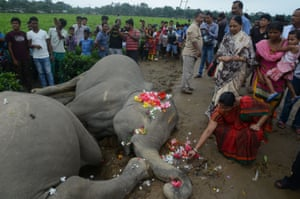A villager puts flowers on the bodies of two female elephants, found electrocuted next to an electricity pole on the outskirts of Siliguri.
