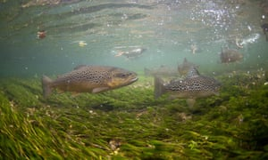 Brown trout swim in the River Test.