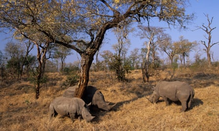 White rhinos in Kruger national park in South Africa where poaching declinedin the first half of 2020 .