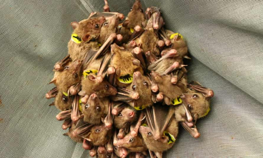 Egyptian fruit bats, common to Africa and the Middle East, are social creatures that often call to each other as they interact. But the calls they make as they huddle together to roost are almost impossible to tell apart by human ear.