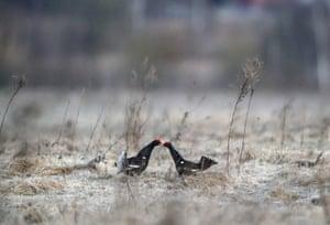 Black grouses outside the village of Khotenchitsy in the MInsk region of Belarus