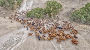 Senepol cows and calves being mustered for weaning from Kurra Wirra in Culla, western Victoria,