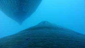 Whale swimming under another whale in Wilhelmina Bay