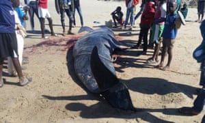 A pilot whale washed up on the beach in Gunjur