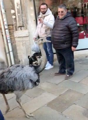 One of the rheas in Venice