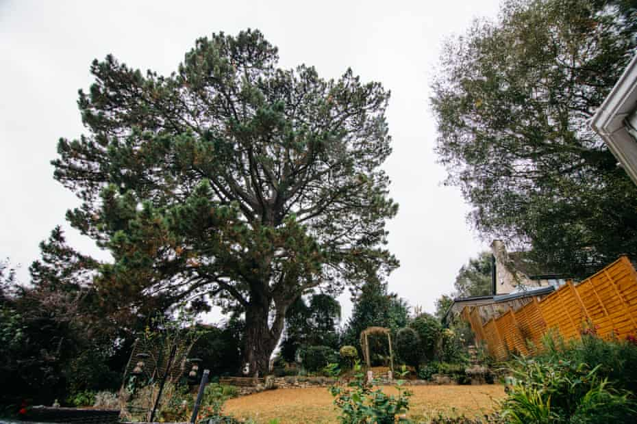 The Batheaston black pine was planted by a suffragette in 1909.