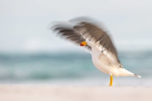 Pacific gull blur by Georgina Steytler, Australia