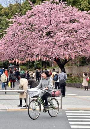A woman rides past cherry blossom at a park in Tokyo