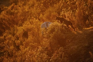 Young photographers (up to 14 years of age) winner: Backlight An Iberian lynx at sunset in the south of Spain
