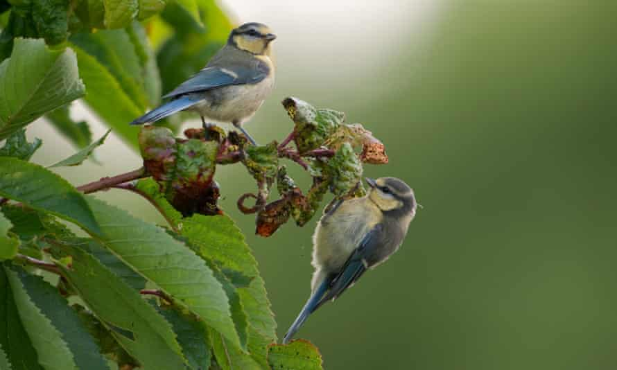 Blue tits feeding on aphids.
