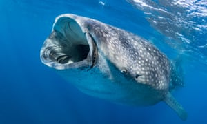 Whale sharks were added to the IUCN Red List of endangered species in July 2016. They are killed by ship propellers and fishing fleets – particularly in China and Oman.