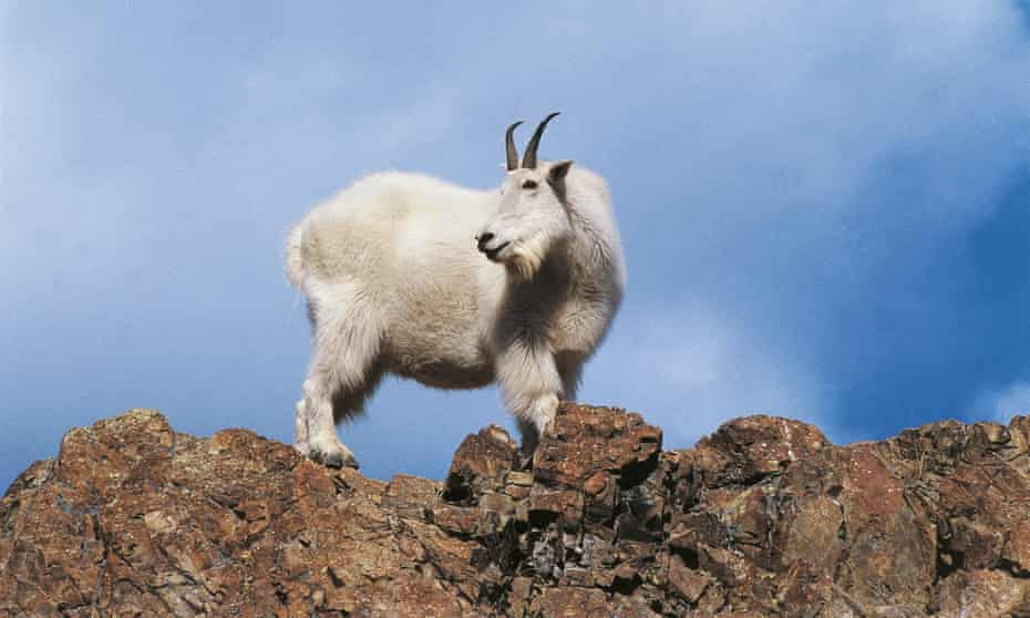 Mountain Goat (Oreamnos americanus) on rocks in Yukon, Canada.