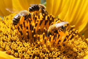 Honeybees collect pollen from a sunflower in Markham, Canada.