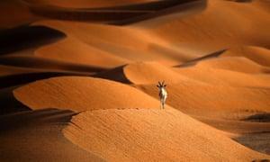 An Arabian oryx near the Oman border with Saudi Arabia.