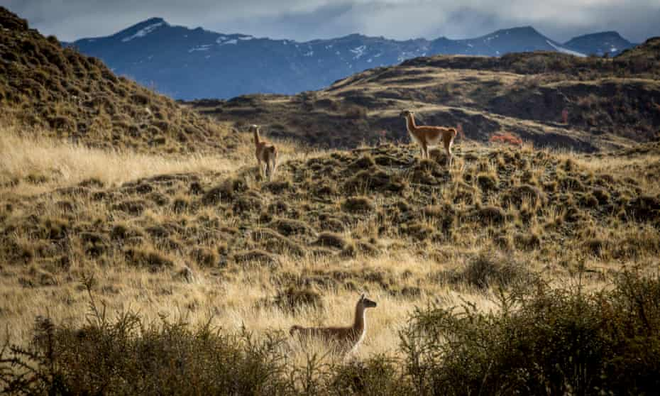 Guanaco in the grasslands of Patagonia.