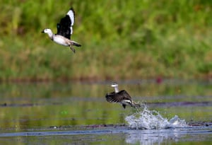 A pair of rare cotton pygmy geese take off from Chandubi Lake in the Kamrup district of Assam, India.