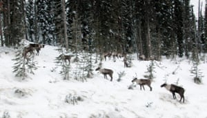 A photo of the now extirpated 'South Selkirk' Caribou herd.