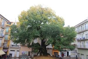 Elm (Ulmus minor), Navajas, Spain