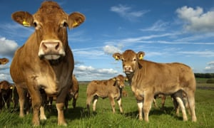 Cows in an English field